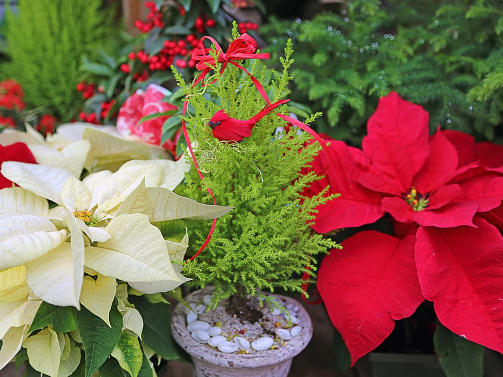 Goldcrest cypress is perfect for combining with red Poinsettias or other holiday plants.