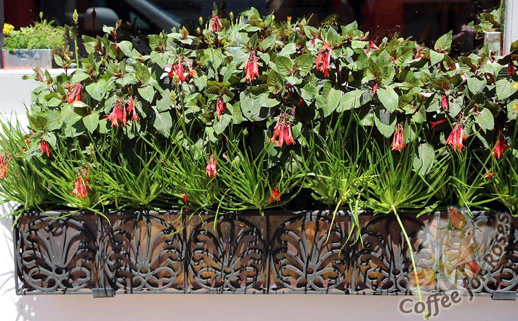 In this Nantucket window box the Fuchsia was used beautifully.