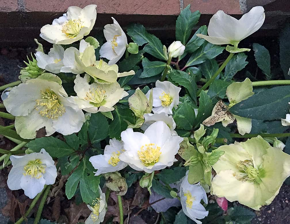 I Love Jacob Hellebores!