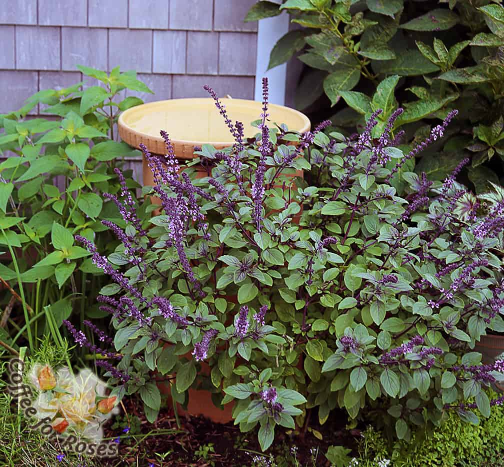 Coffee for roses african blue basil deep purple stems blue green leaves and purple and lavender flowers i pinched izmirmasajfo