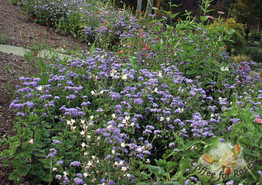 My gardens wouldn't be without Ageratum 'Blue Horizon.'  You can grow it from seed but some garden centers sell it in six-packs as well. Be sure to get 'Blue Horizon' not the dwarf varieties if you want cutting flowers or a great annual to plant among perennials. This plant grows two to three feet high and is very self-supporting. I place the plants about eight to ten inches apart. In this photo there are also some white Gaura mingling in with the Ageratum but the cornflower blue flowers blend with just about every other color. Put this flower in with a bunch of zinnias and you have a winning, locally grown bouquet.