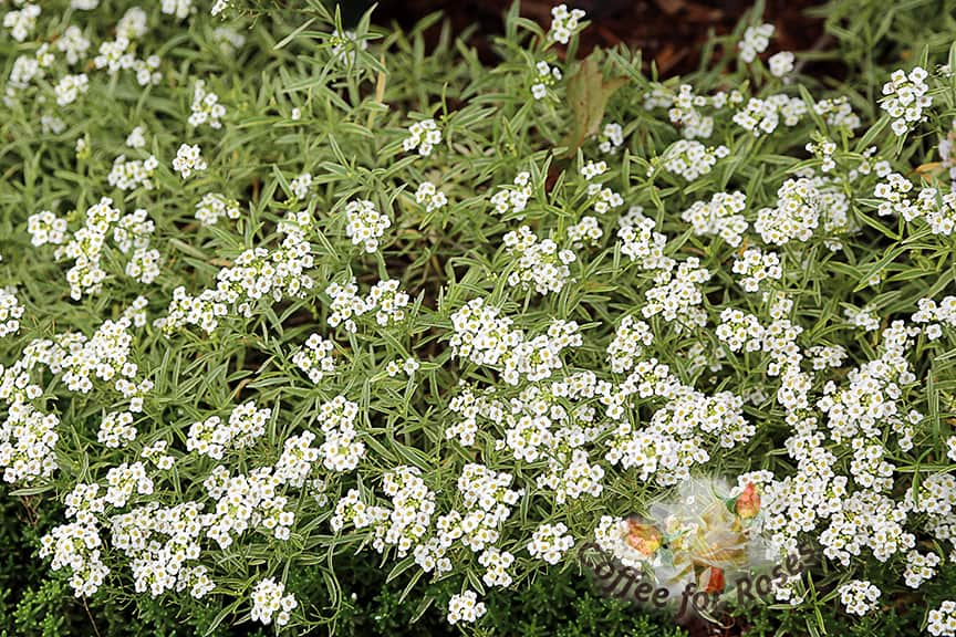 I love Frosty Knight Lobularia. I'm also crazy about the knight's first cousin, Snow Princess. Low, long-flowering, fragrant plants that require no care and even sail through the first few frosts. If you have any sort of event happening in your garden in the late summer or fall, you should plant these varieties of alyssum.