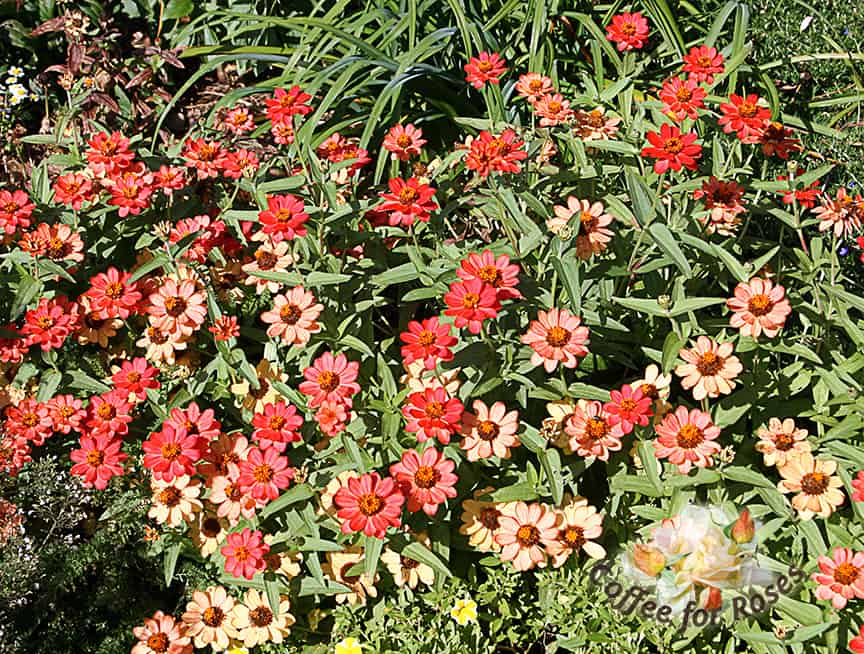 Profusion zinnias come in deep apricot (shown here) as well as white, yellow, pink, and apricot. As the flowers age they become lighter in color, so you get this two-tone effect. Deadhead or not, these are low, round flower-power plants. Full sun, and on the drier side.