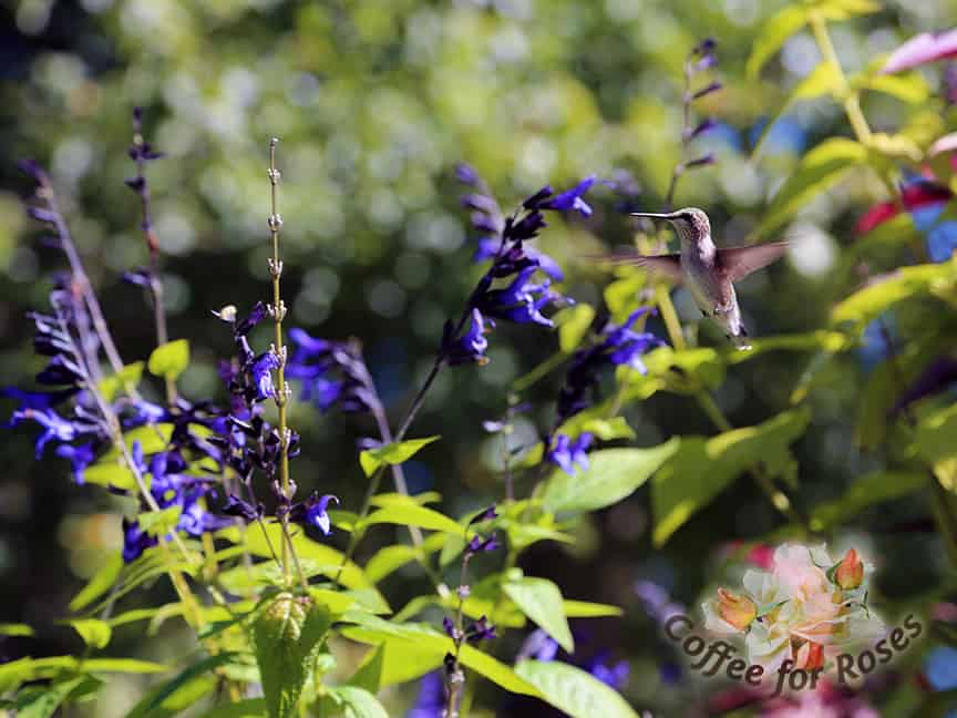 Want hummingbirds? Grow Salvia 'Black and Blue.' Put some with any of the lower Agastaches in a large container and you'll have hummers all summer. Black and Blue gets about two feet tall or more and is kind of lanky, which is another reason to grow it with a bushier plant. Snip off the old flowers as they go by to stimulate more blooms.