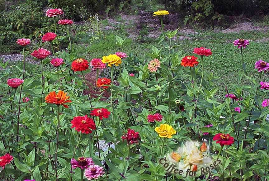 Of course you HAVE to have zinnias if you want cutting flowers. I grow the taller varieties available from Renee's Garden Seeds.
