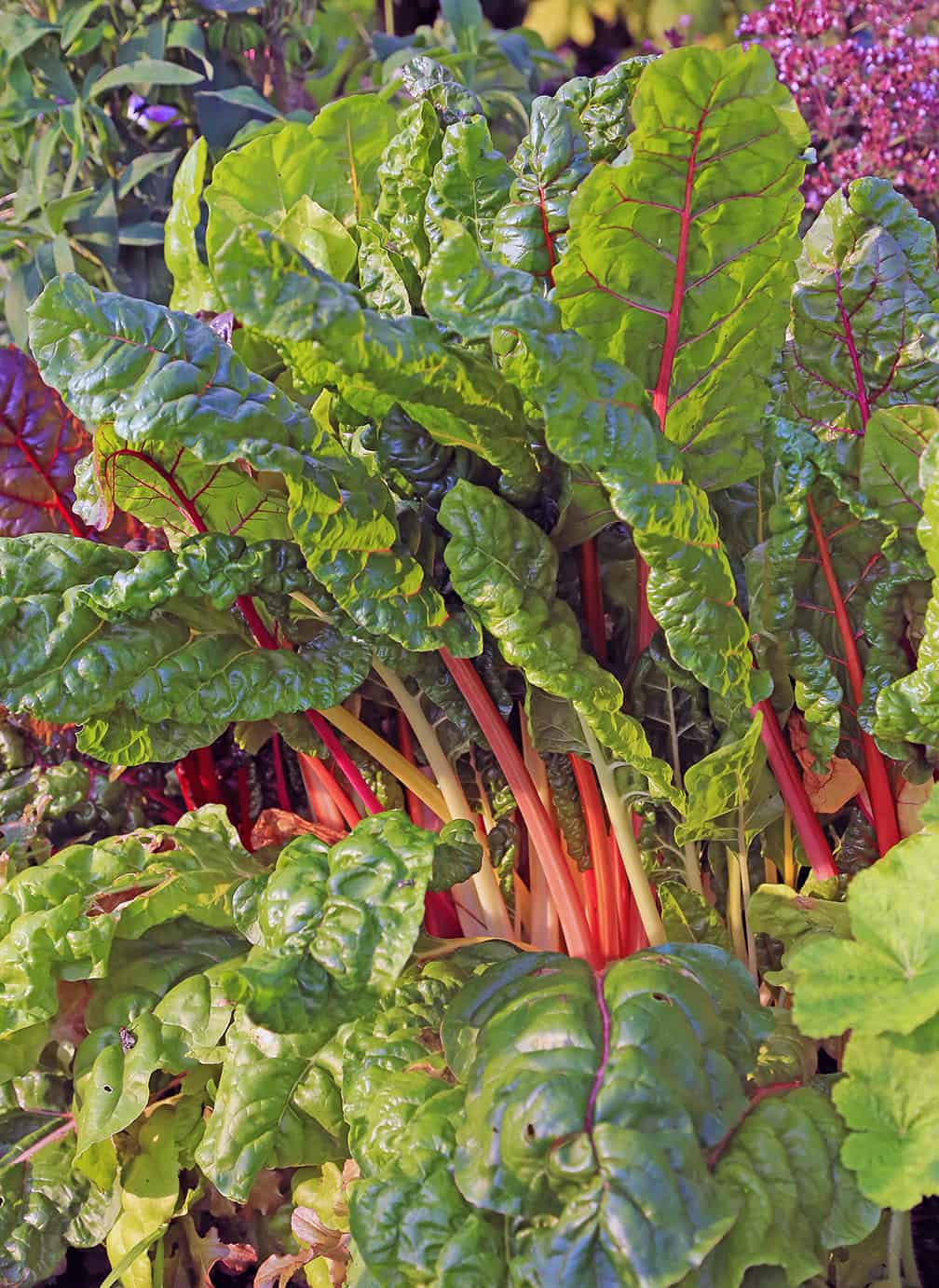 I Love Swiss Chard