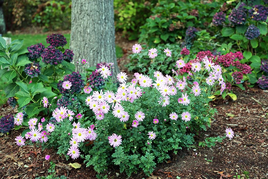 Coffee for roses ten perennials you should know and grow for Low maintenance summer flowers