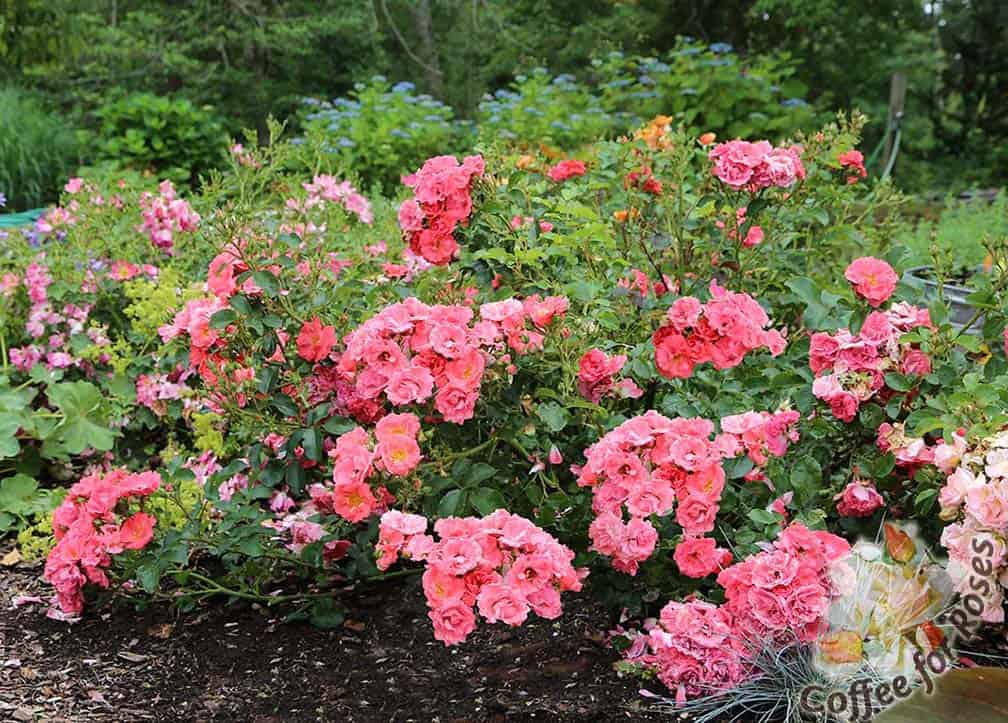 Roses In Garden: I Love Coral Drift Roses