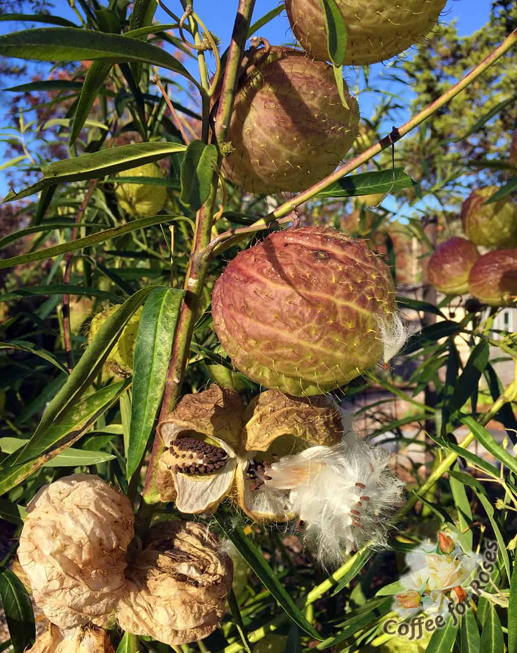 """Gomphocarpus physocarpus, aka """"fur balls"""" sails through the first frosts. The seeds burst out of the hairy pods and you immediately know that this annual is in the milkweed family. These pods dry well for indoor arrangements... and who can resist saying that they are growing """"hairy balls"""" in the garden?"""
