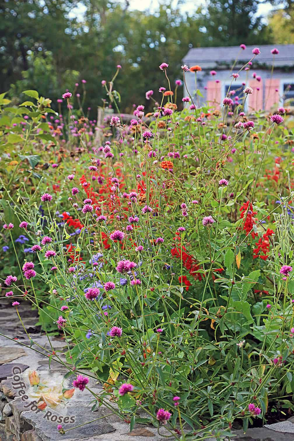 This past year I planted Annual Alley with a variety of six pack varieties along with others such as Gomphrena Fireworks that I grew from seed. I love the way the round pink flowers of the Gomphrena contrast with the spiky red salvia.