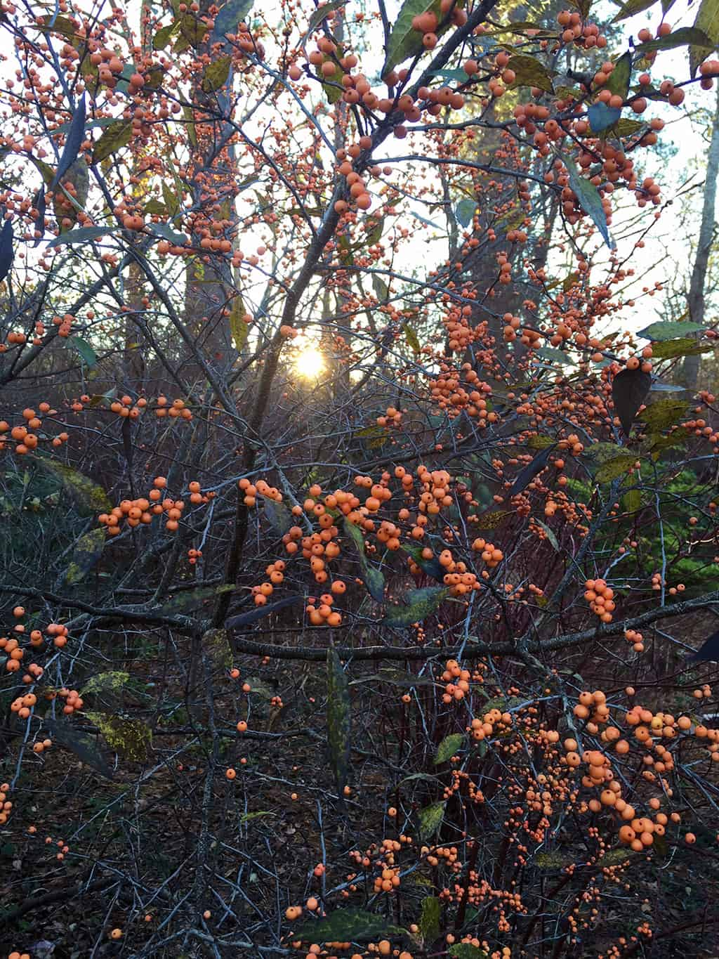 The berries of 'Winter Gold' are actually peach in color. Love it...