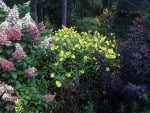 I have 'Lemon Queen' growing next to two large shrubs: Hydrangea 'Pinky Winky' and Physocarpus 'Center Glow.' The 'Lemon Queen' holds its own!