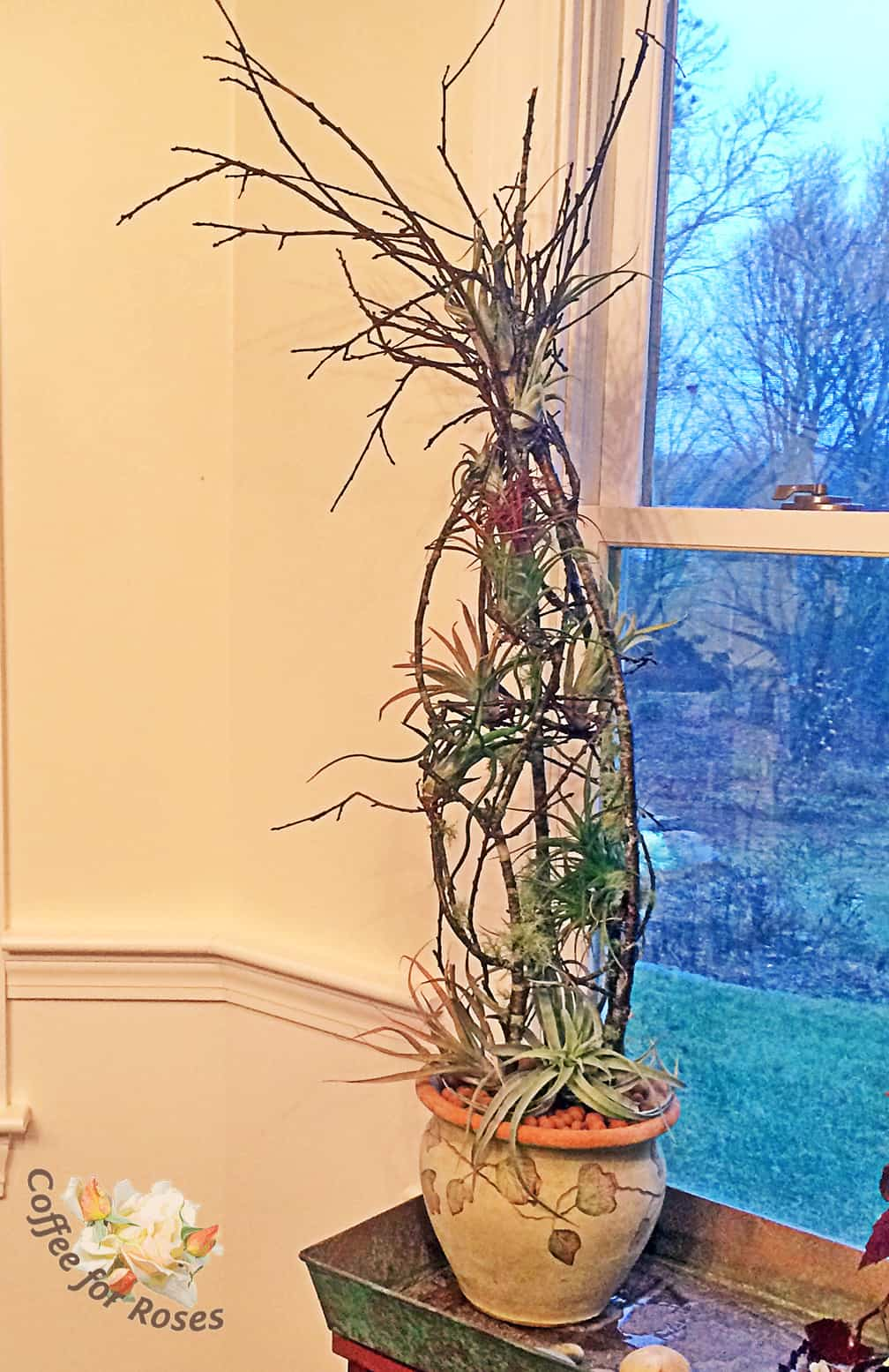 growing and displaying air plants tillandsia coffee for roses. Black Bedroom Furniture Sets. Home Design Ideas