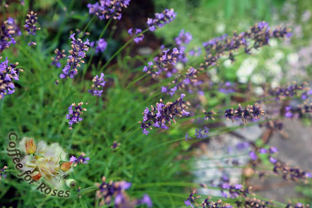 Begin by cutting stems of lavender that are as long as possible. Some varieties have very long stems, so this is easy, but others are shorter so do the best you can with what you've got.