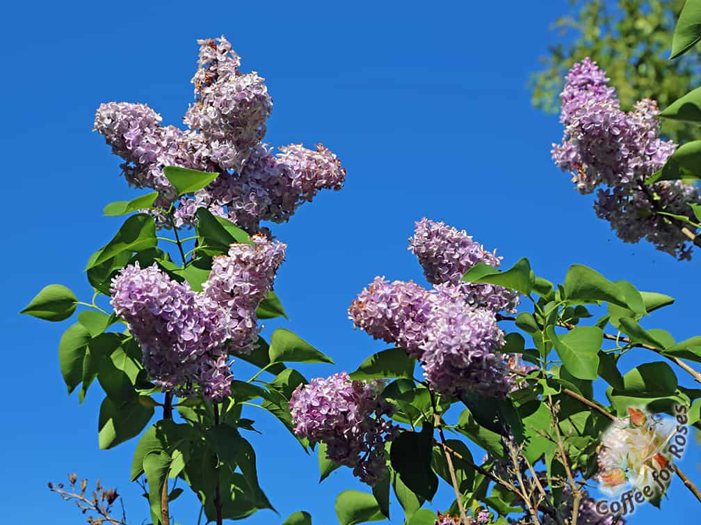 I've never seen lilacs do so well on Cape Cod, Santa. Spectacular.