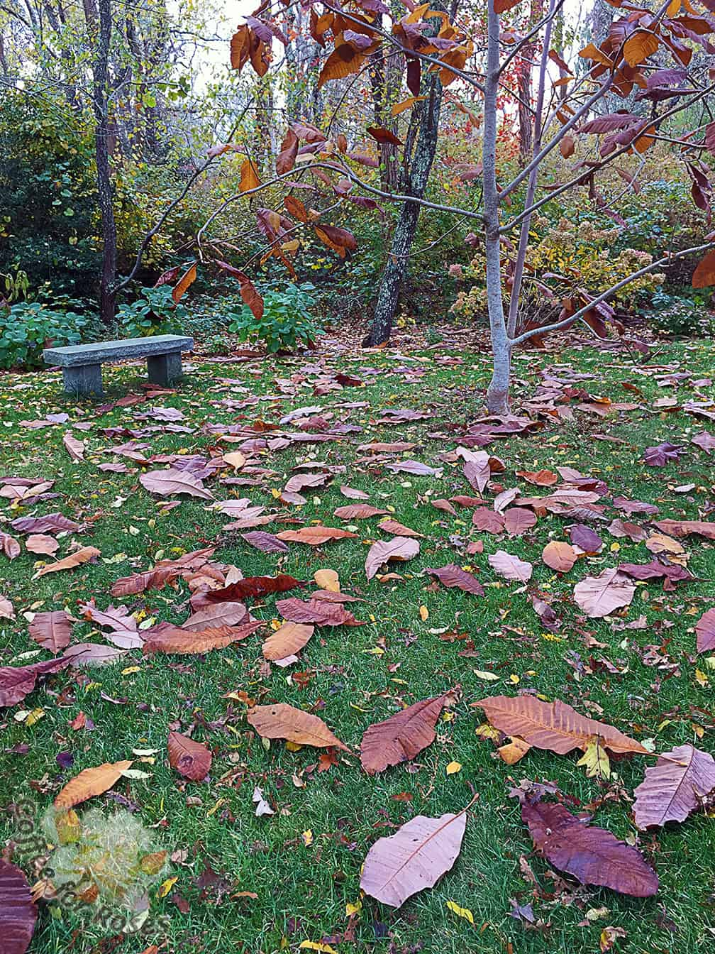 The large leaves of this Magnolia tripetala fall to the ground and create a patchwork pattern that makes me smile.