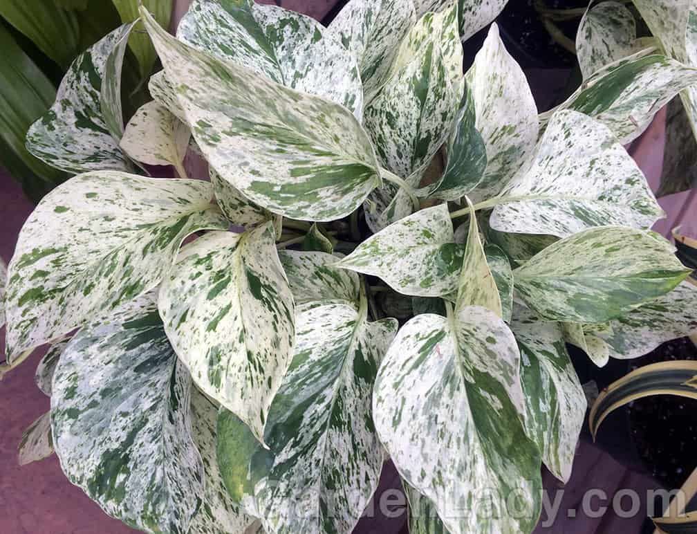 This pothos is not only easy to grow, but it brightens up any display of all-green plants.