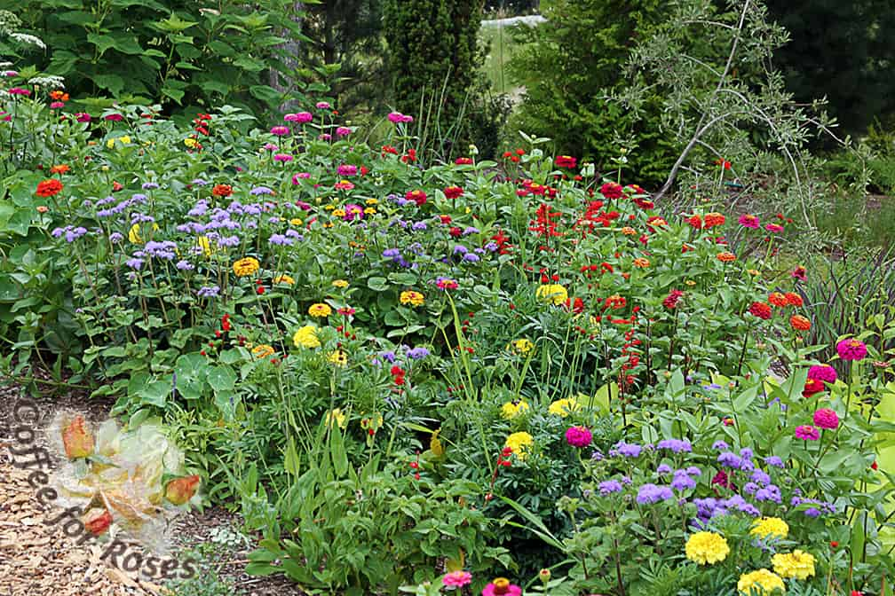 I love a field-like planting of annual bedding plants and marigolds often play a role in my Annual Alley flower beds.