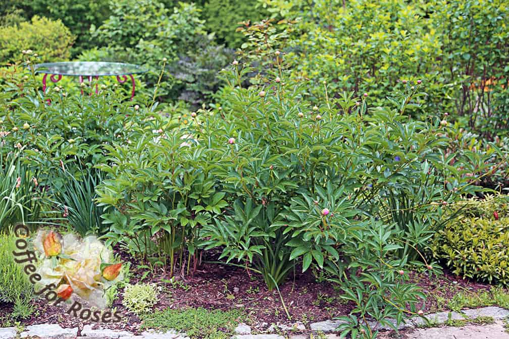 This peony has stems that fall over more quickly than others...maybe because it's in a bit more shade and reaching for the light, or perhaps because the crown of the plant is closer to the surface. It could also be that this plant gets more fertilizer since I routinely plant annuals in this bed around these peony plants. No matter what the cause, however, this is one peony that I have to either pick the flowers as they open or provide some support to the stems.