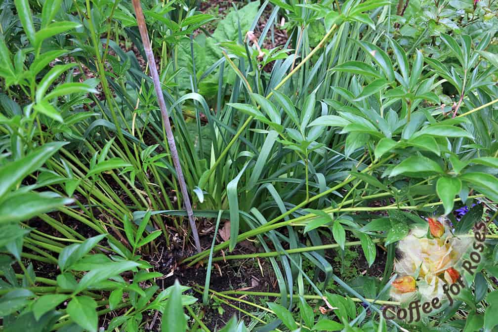 This is step one. Take a sturdy bamboo stake and poke it down at least a foot into the ground in the center of the plant or close to it. Choose a stake that won't show above the top of the plant once it's in the ground to a depth of a foot to eighteen inches.
