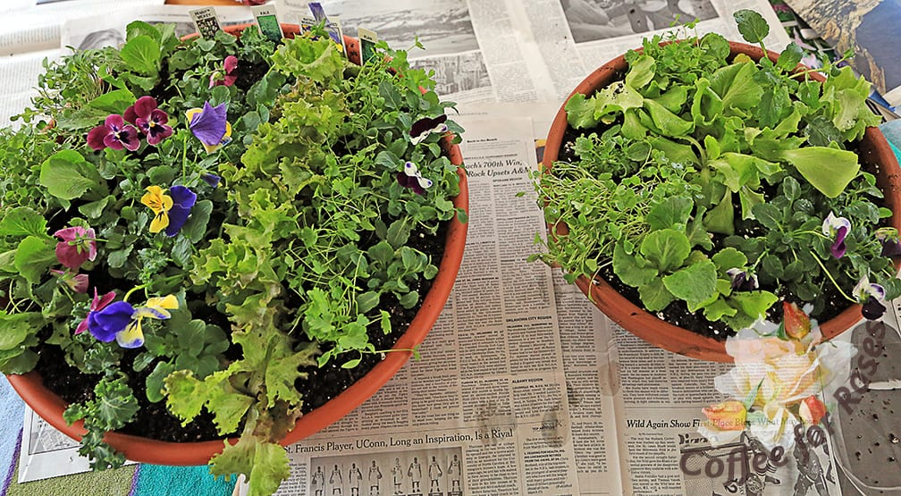 I did two bowls with the six packs I had. The bowl on the left was planted in rows, and the one on the right in clusters of plants. All of these plants will grow very quickly and if you grow one you'll want to start harvesting the salad greens soon by cutting the oldest leaves and leaving the youngest ones in the center of the plants to grow on.