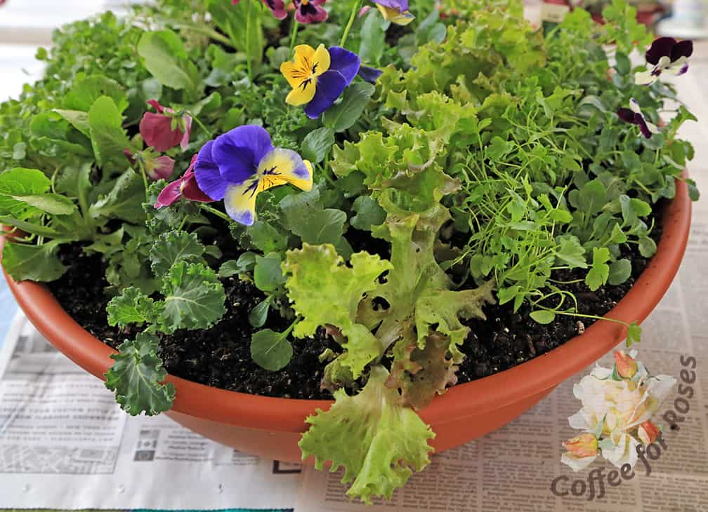 Did you know that pansy flowers are edible? They look pretty in a salad and have a nice, wintergreen-like flavor as well.