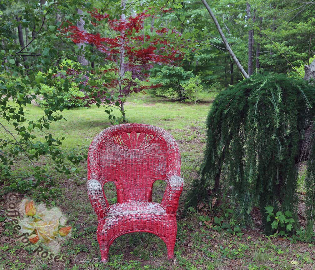 I decided to place this chair on the path going down to the lake. I have a very funky weeping larch that is planted against an equally quirky choke cherry tree. On the left is a clump of birch and behind these two grows a small red-leaf maple. It was the perfect location for a piece of garden art.