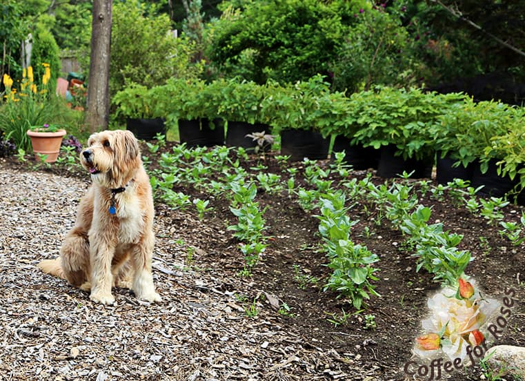 The Dog pretends to be well behaved next to my zinnia patch. The plants in this garden are about three to four weeks along. Zinnias love the heat, so they usually take off in early July when our weather gets warm.
