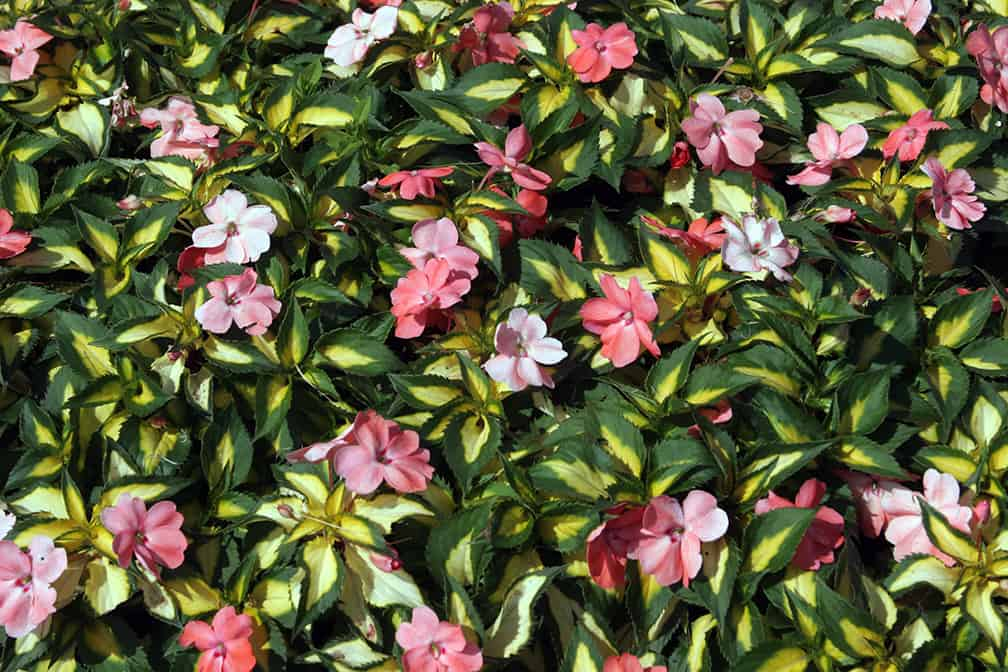 I Love Spreading SunPatiens Variegated Salmon