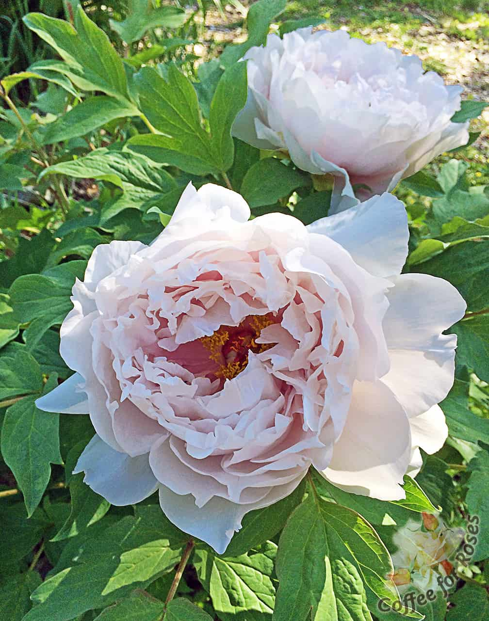 I Love Tree Peonies