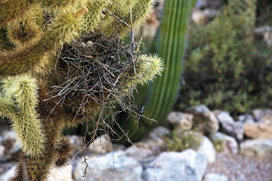 Cactus spikes protect fragile eggs in one of the many nests spied in the Tucson Botanical Gardens