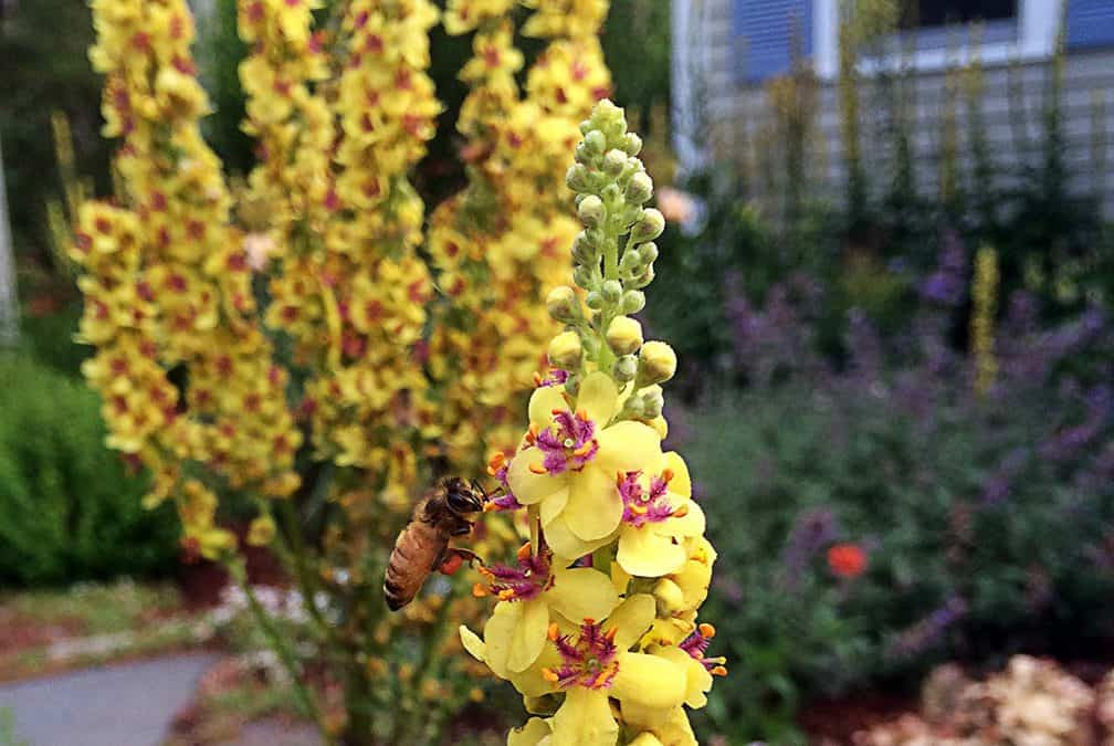 I Love Verbascum Chaixii – aka nettle-leaved mullein