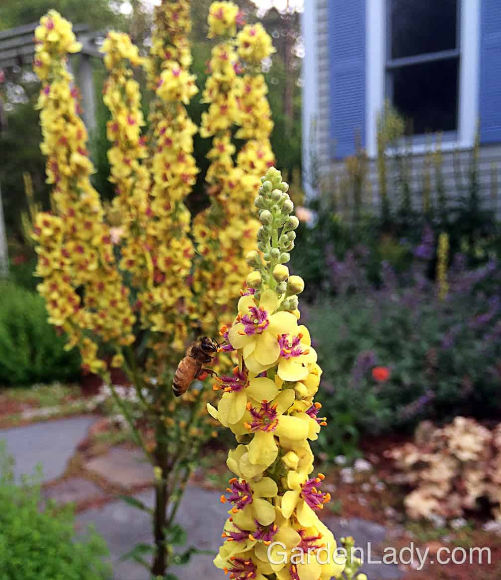 All types of bees love this Verbascum.