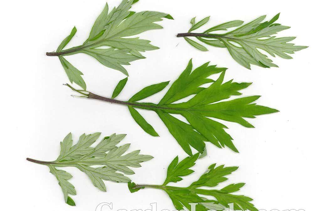 I Hate Artemisia vulgaris!